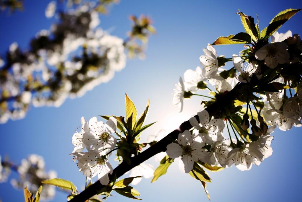sunny-spring-tree-white